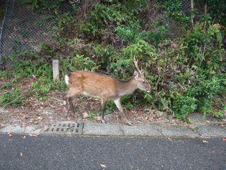 西部林道の鹿