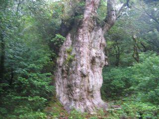縄文杉 その2