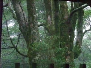 縄文杉から木が生える