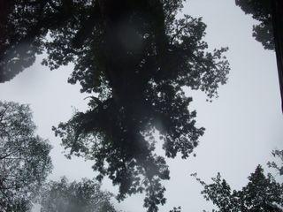 縄文杉から葉が降る