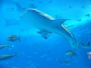 ジンベイザメ 美ら海水族館